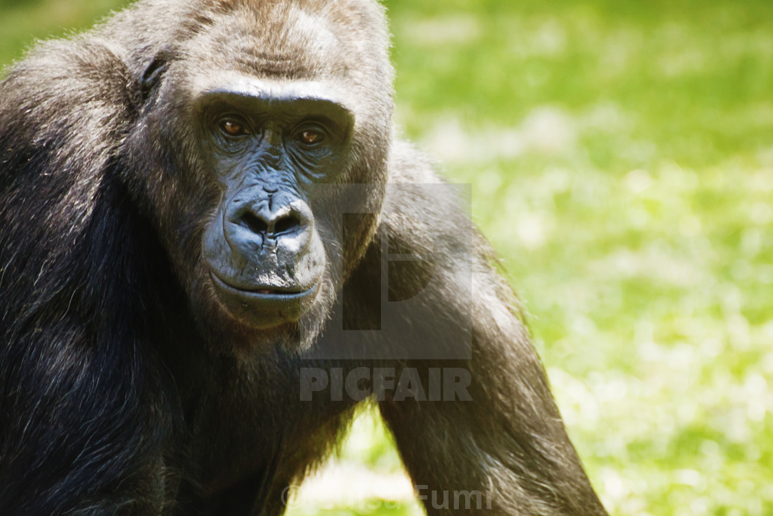 """Animal wildlife, gorilla looking at the camera portrait"" stock image"